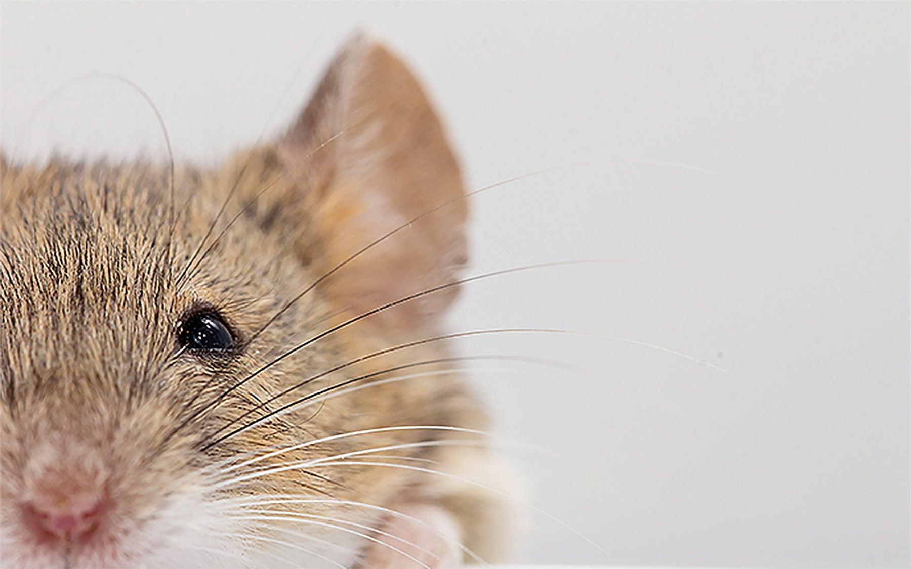 Shea Mouse