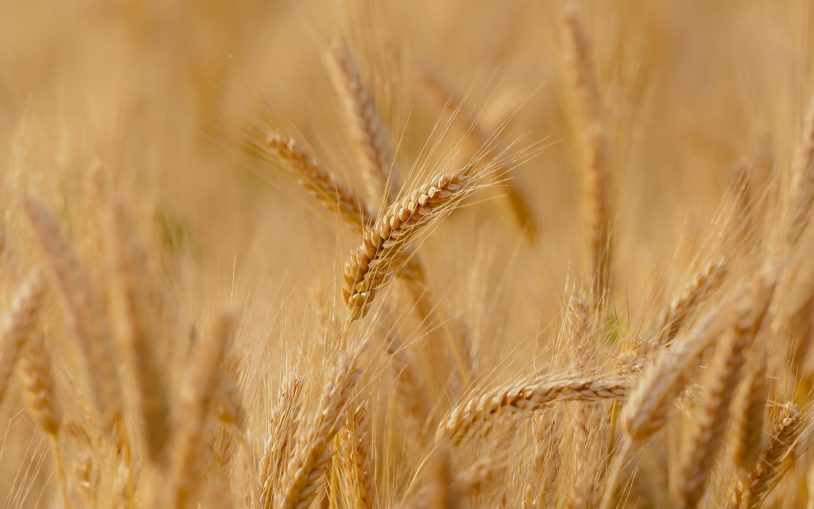 Bread wheat's large and complex genome is revealed