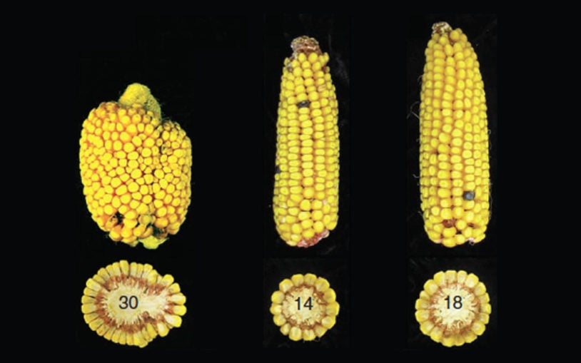 Plant scientists at CSHL demonstrate new means of boosting maize yields