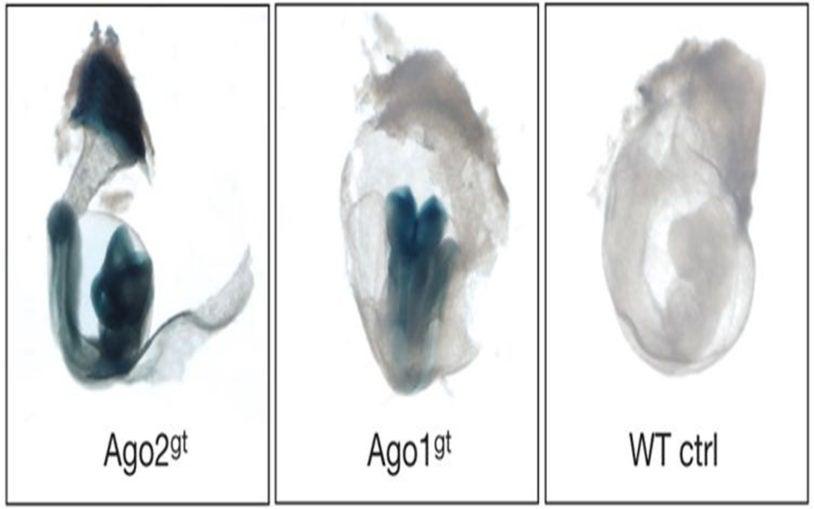 Alleles embryo Hannon Joshua-Tor