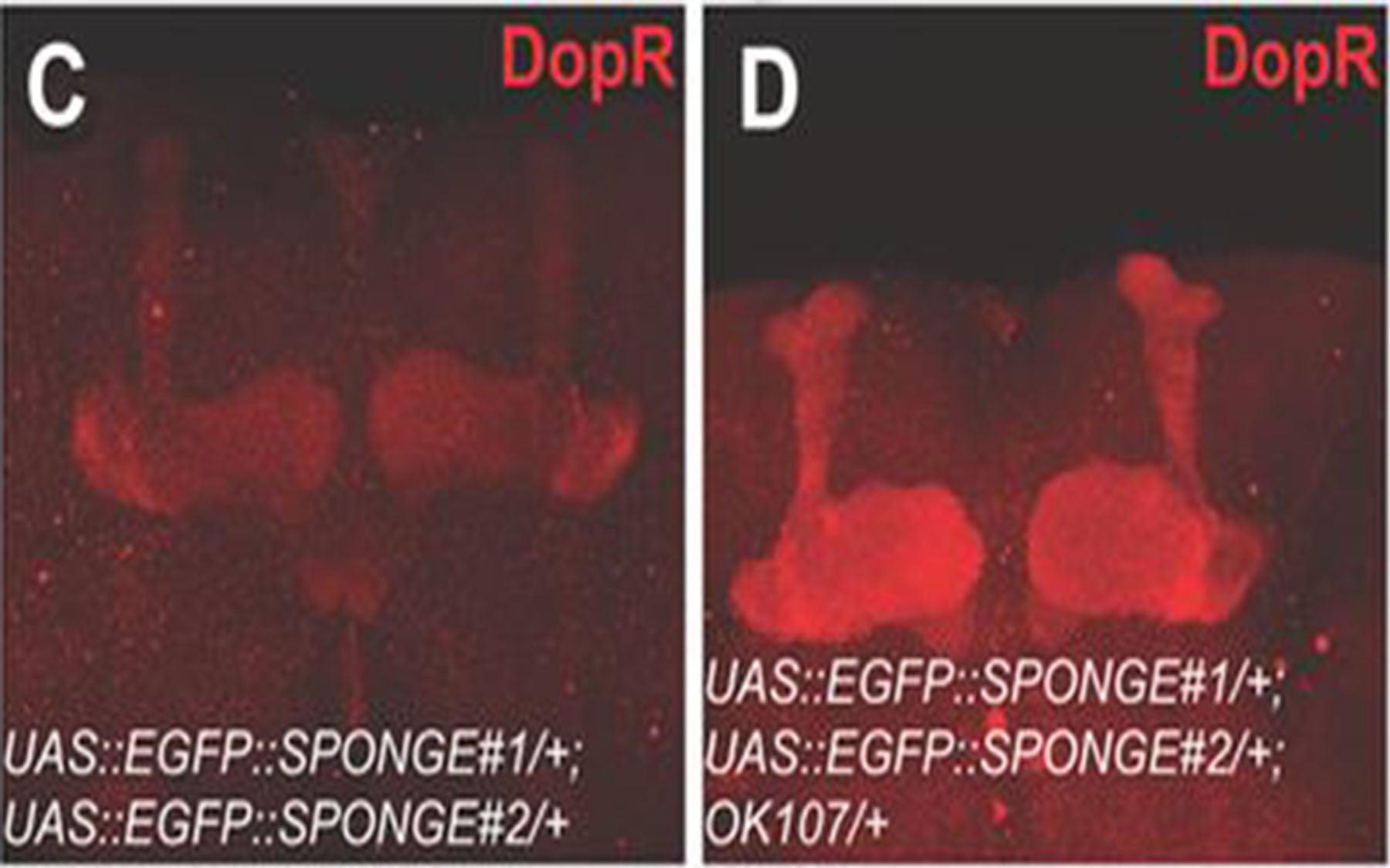 DopR expression MB