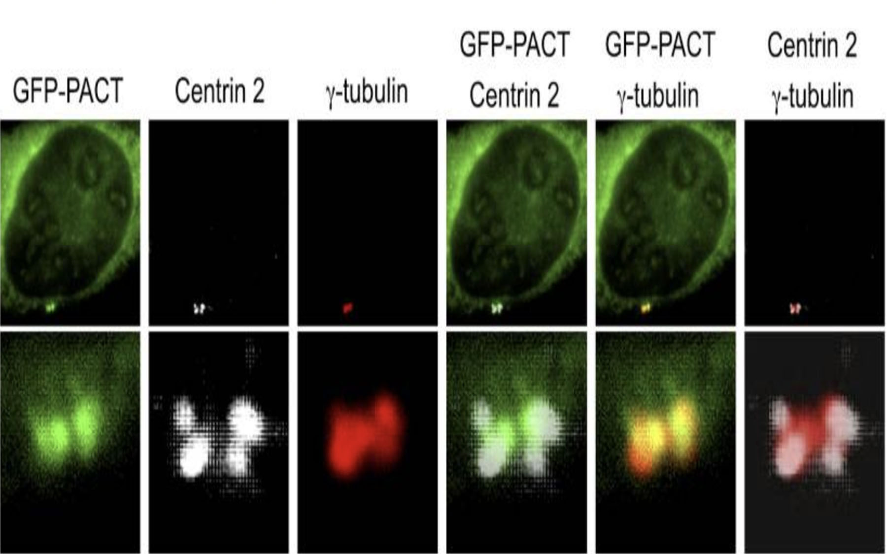 GFP-PACT transfected U2OS cells