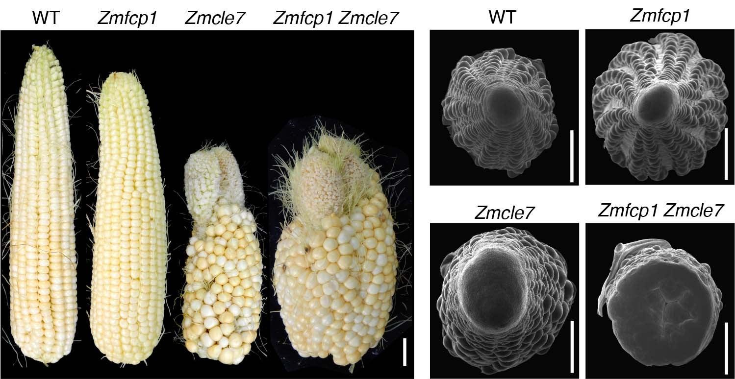 Zachary Lippman ear corn meristem