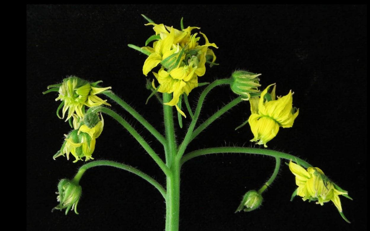 Lippman tomato flower