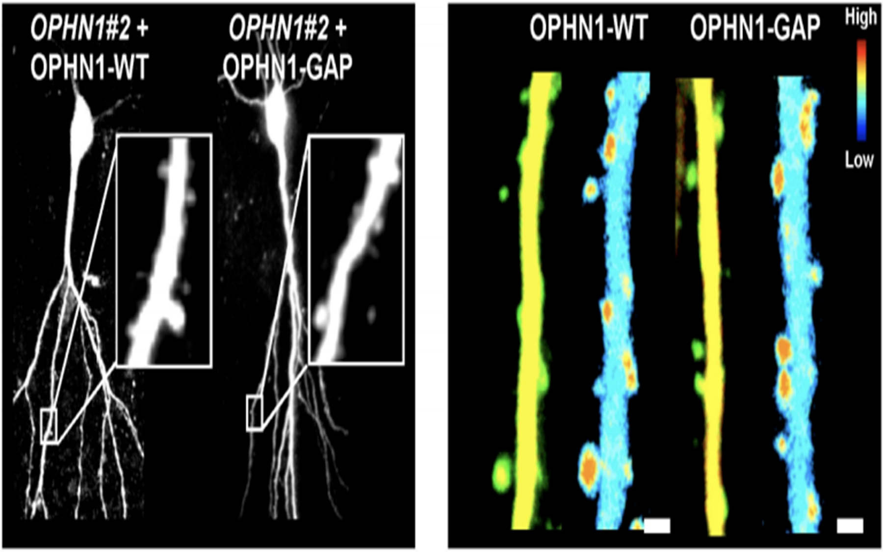 OPHN1-WT and OPHN1-GAP