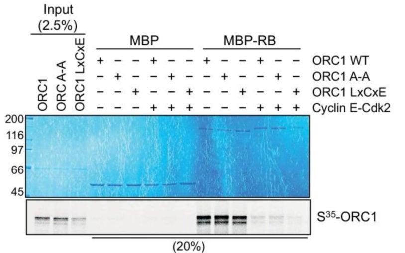 ORC1 represses Cyclin E