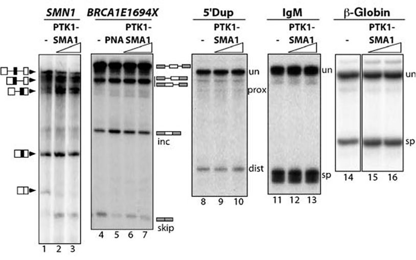 PTK-SMA1 SMN2 exon 7 splicing