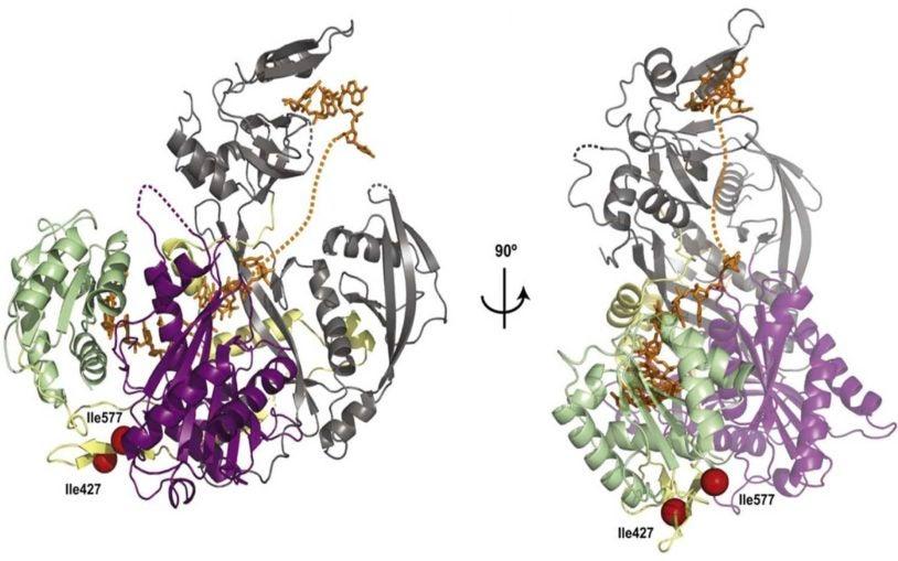 hAgo2 RNA-induced stability