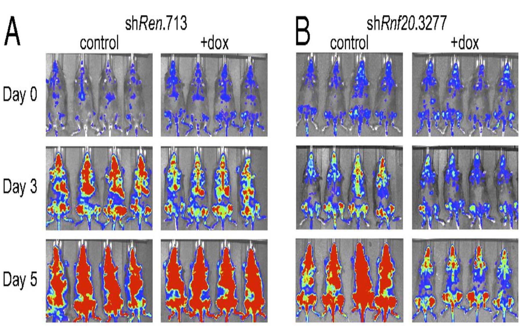 Rnf20 leukemia cells vivo