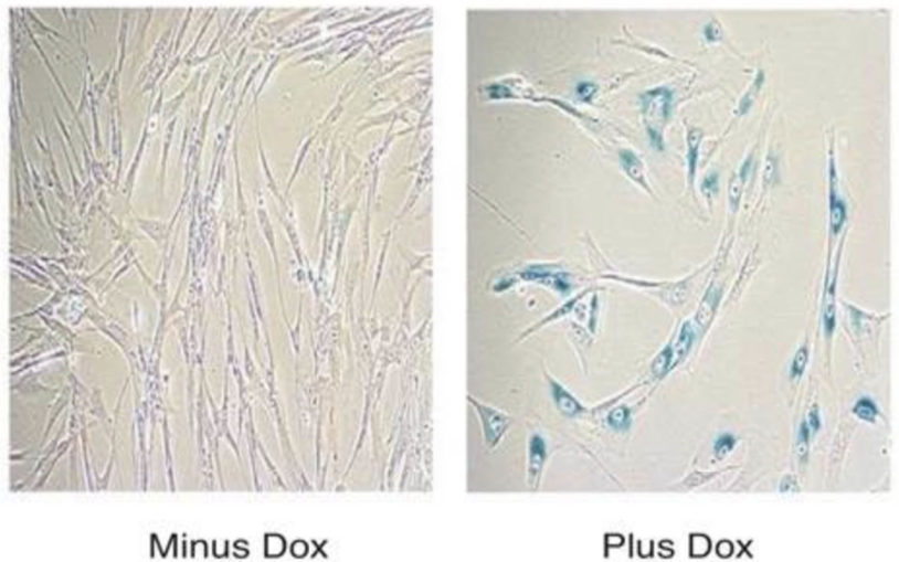 TT7-SRSF1 cells doxycycline