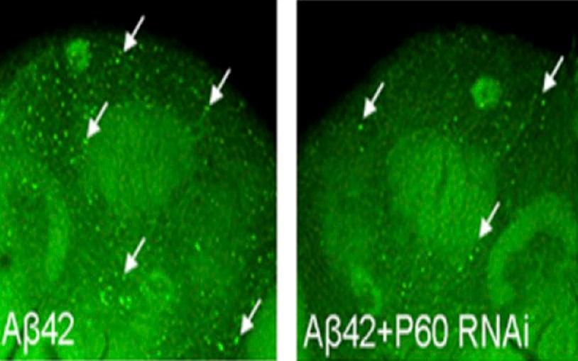 Wortmannin treatment AB42