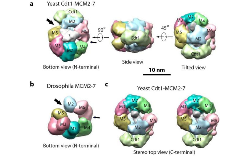 Yeast Cdt1-MCM2-7 Drosophila MCM2-7