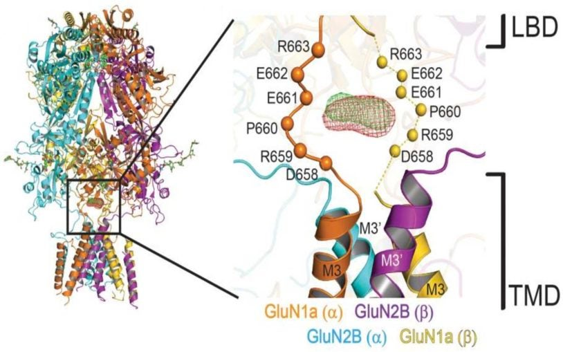 Unprecedented detail of intact neuronal receptor offers blueprint for drug developers