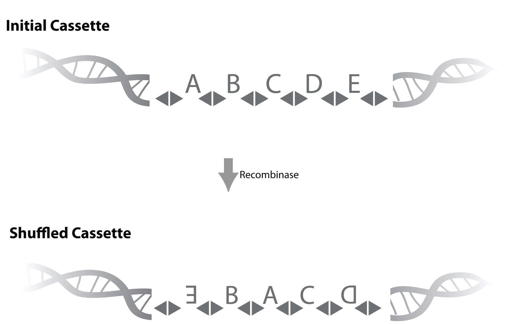 Neuron DNA barcode