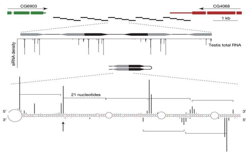 FlyBase gene structure
