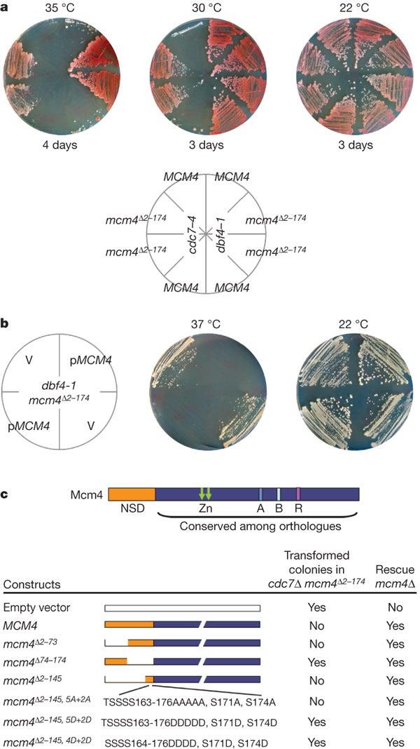 Stillman protein critical activating DNA replication