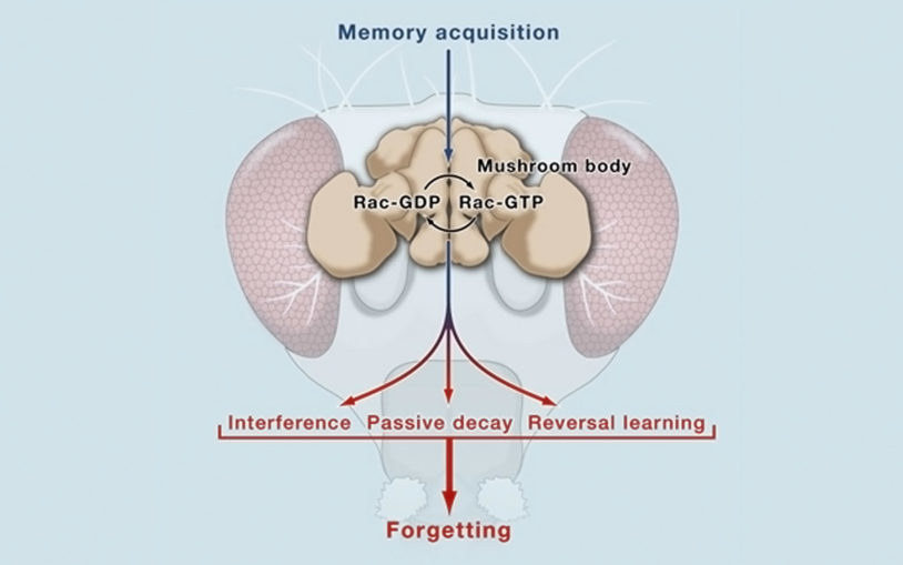 CSHL neuroscientist discovers protein that regulates forgetting of short-term memories