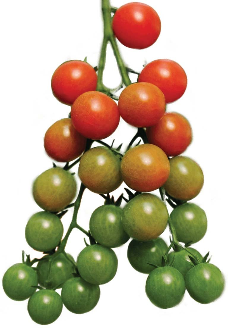 orchard growing tree tomatoes