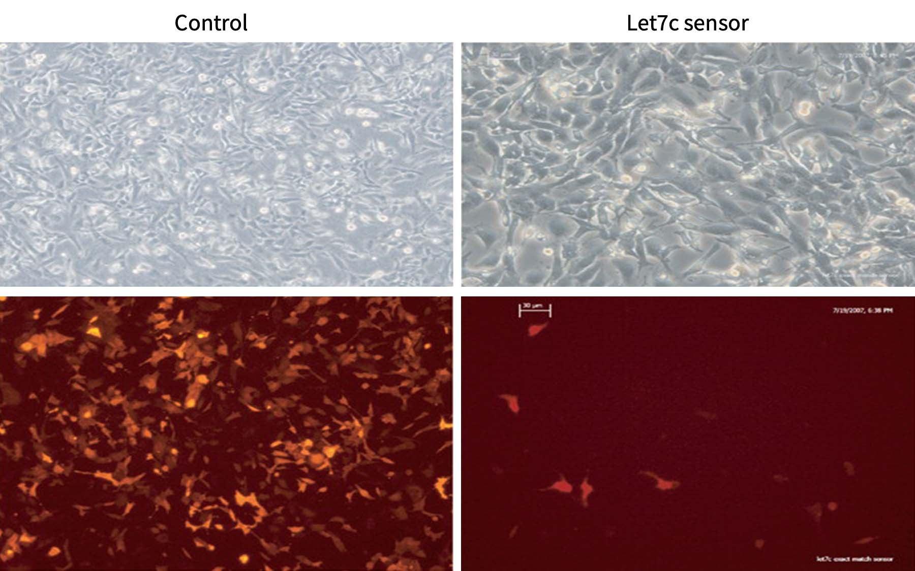 Comma Dβ cells