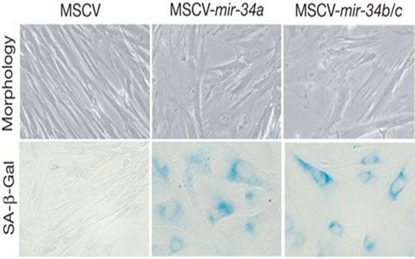 miR-34 family miRNAs