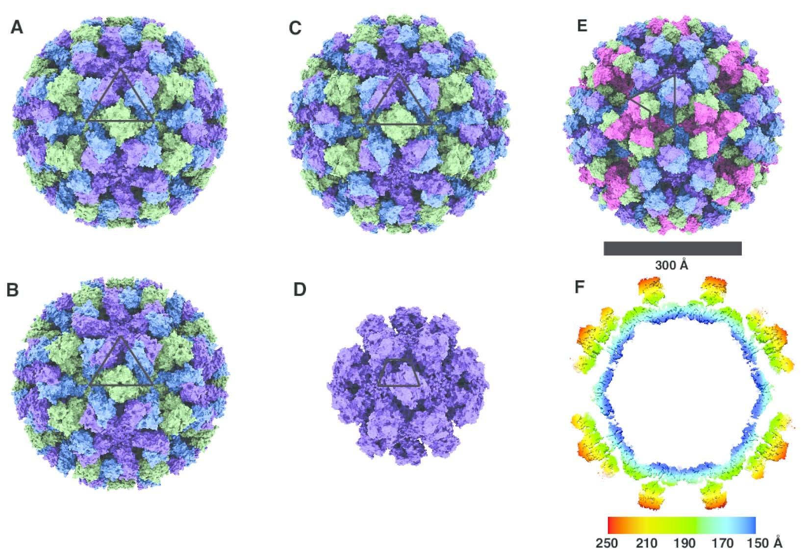 norovirus strain capsids