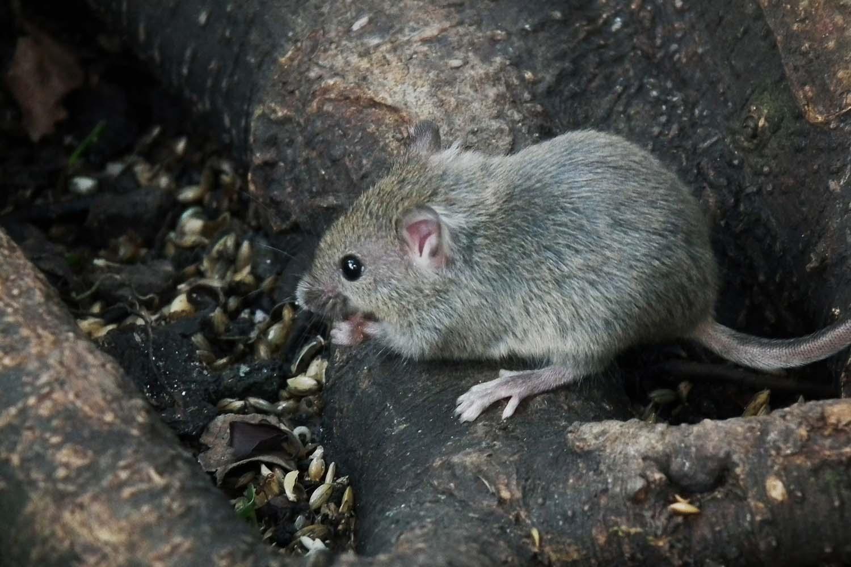 Mouse - Junge Hausmaus 4028mdk09