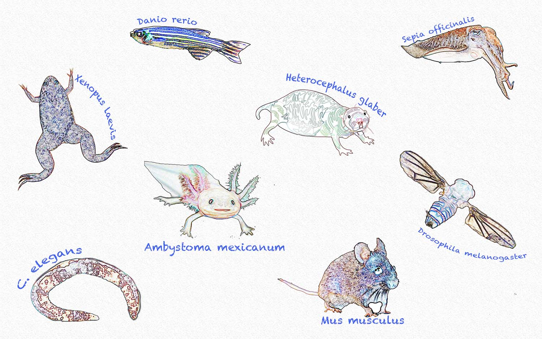 Model Organisms Charlotte Hu