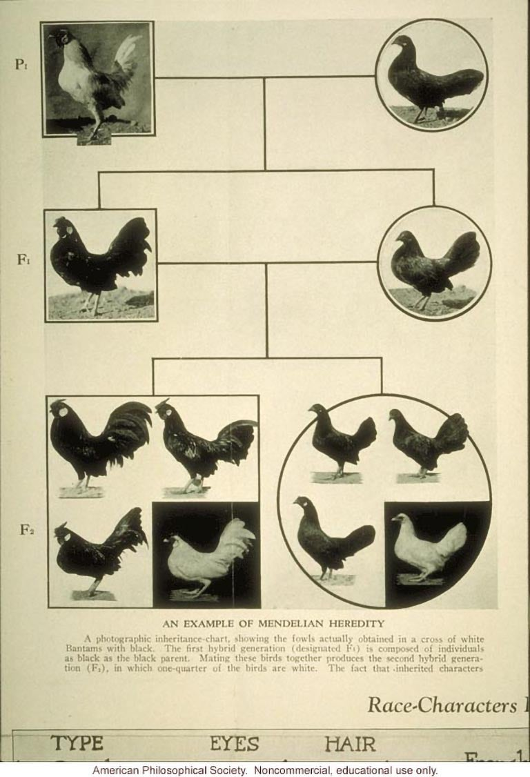 475 An example of Mendelian heredity chicken breeding