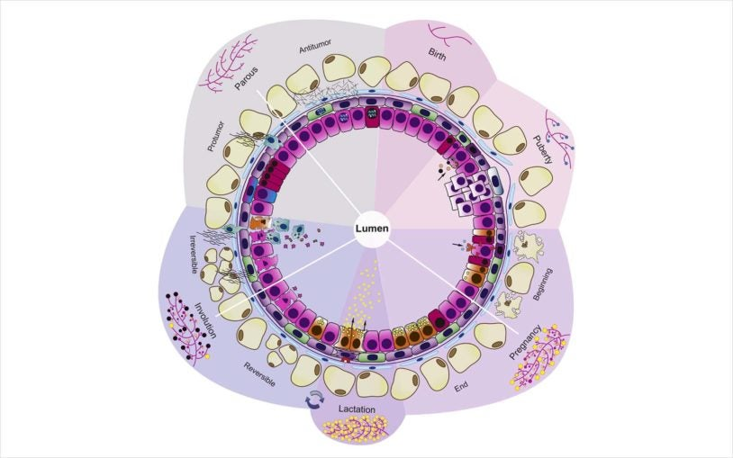 Mammary gland development clock