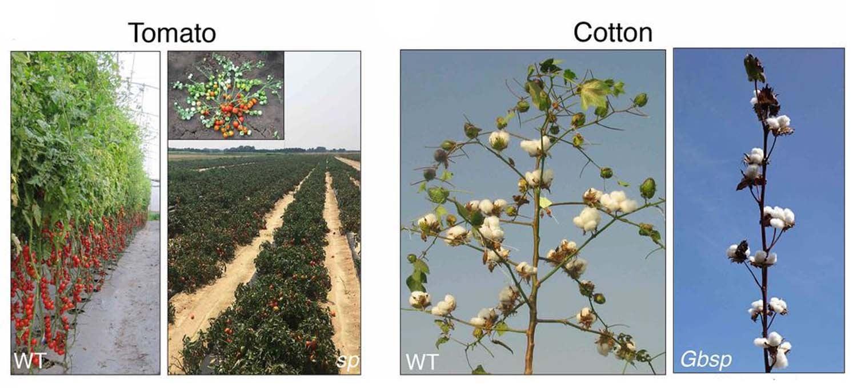 Lippman tomato cotton