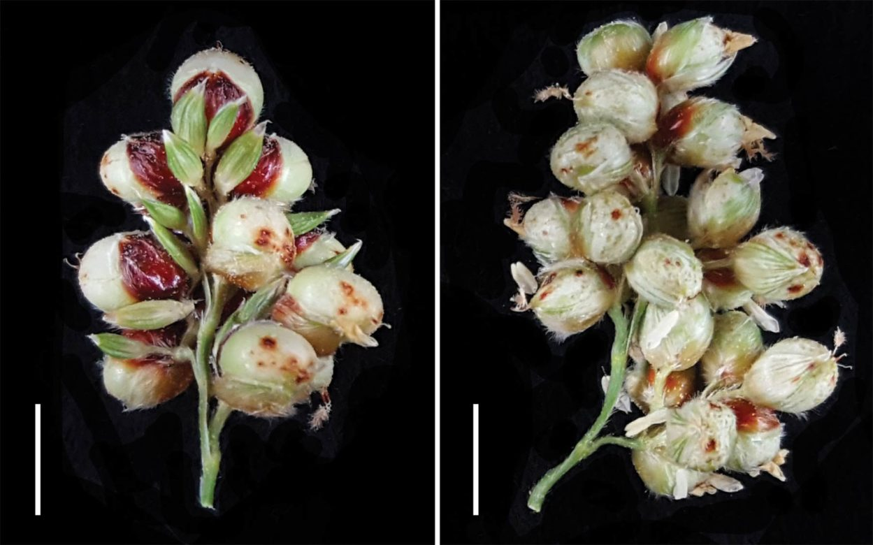 photo of Sorghum seed heads