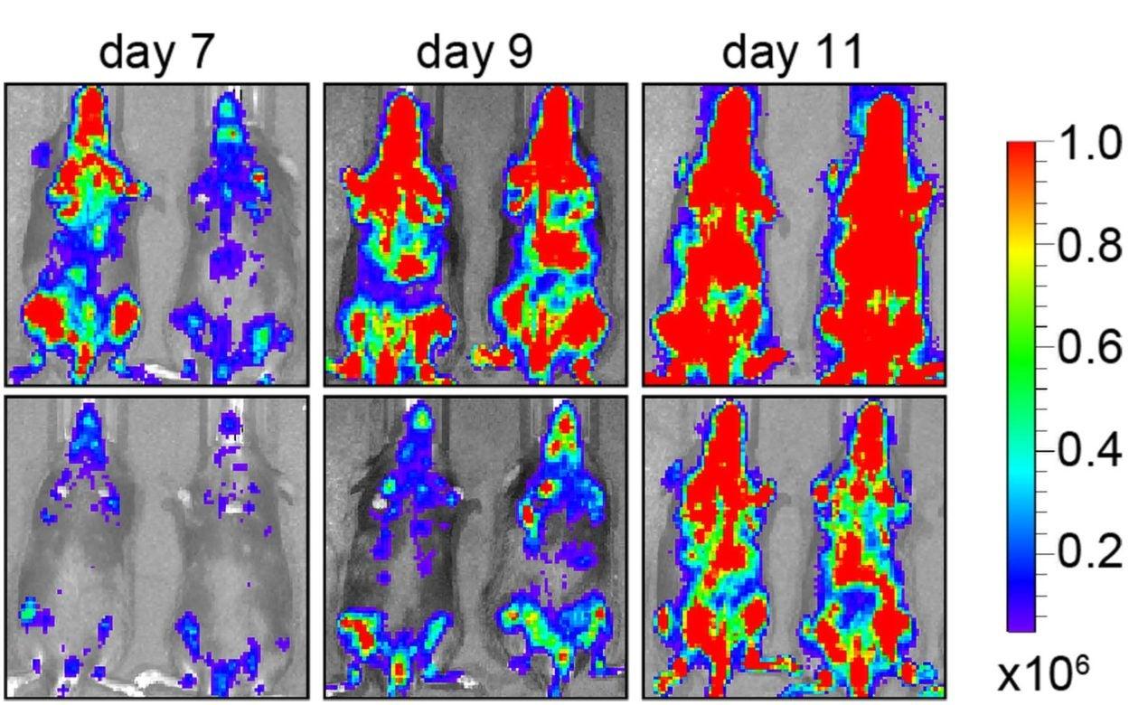 photo of SIK3 blocking leukemia in mice
