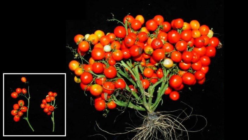 image of Triple determinate mutations in tomatoes