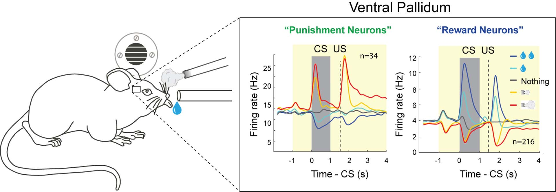 diagram of monitored punishment and reward neural activity in the ventral pallidum