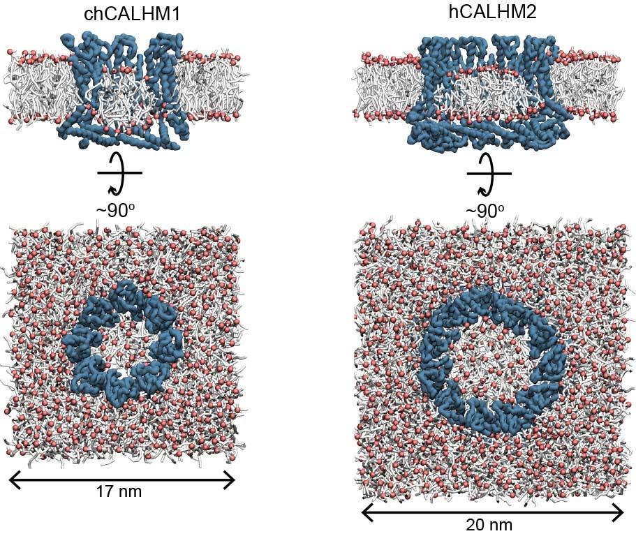 graphic of fatty acids inside CALHM2's (3D image of CALHM (calcium homeostasis modulator number 2) pore