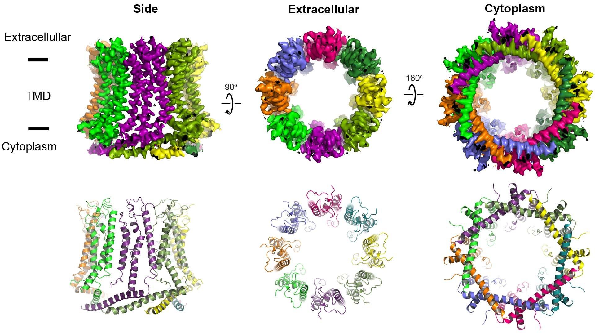 3D image of CALHM (calcium homeostasis modulators) pore