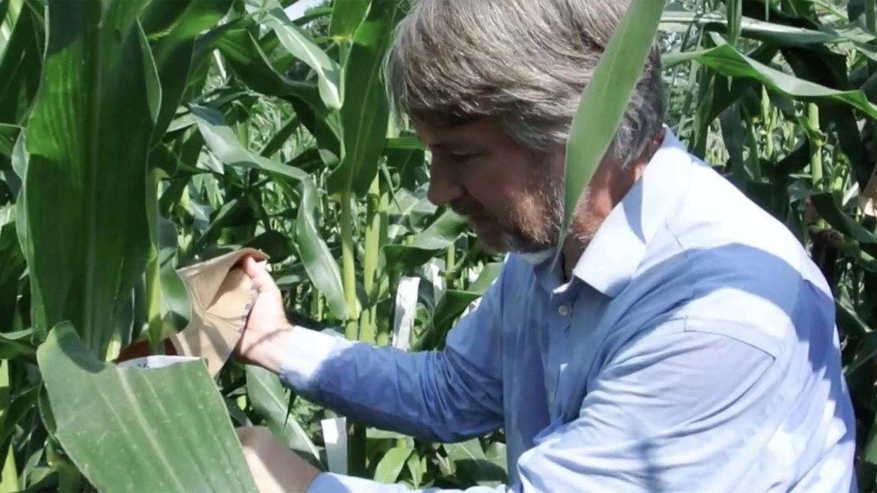 photo of David Jackson inspecting cornfield