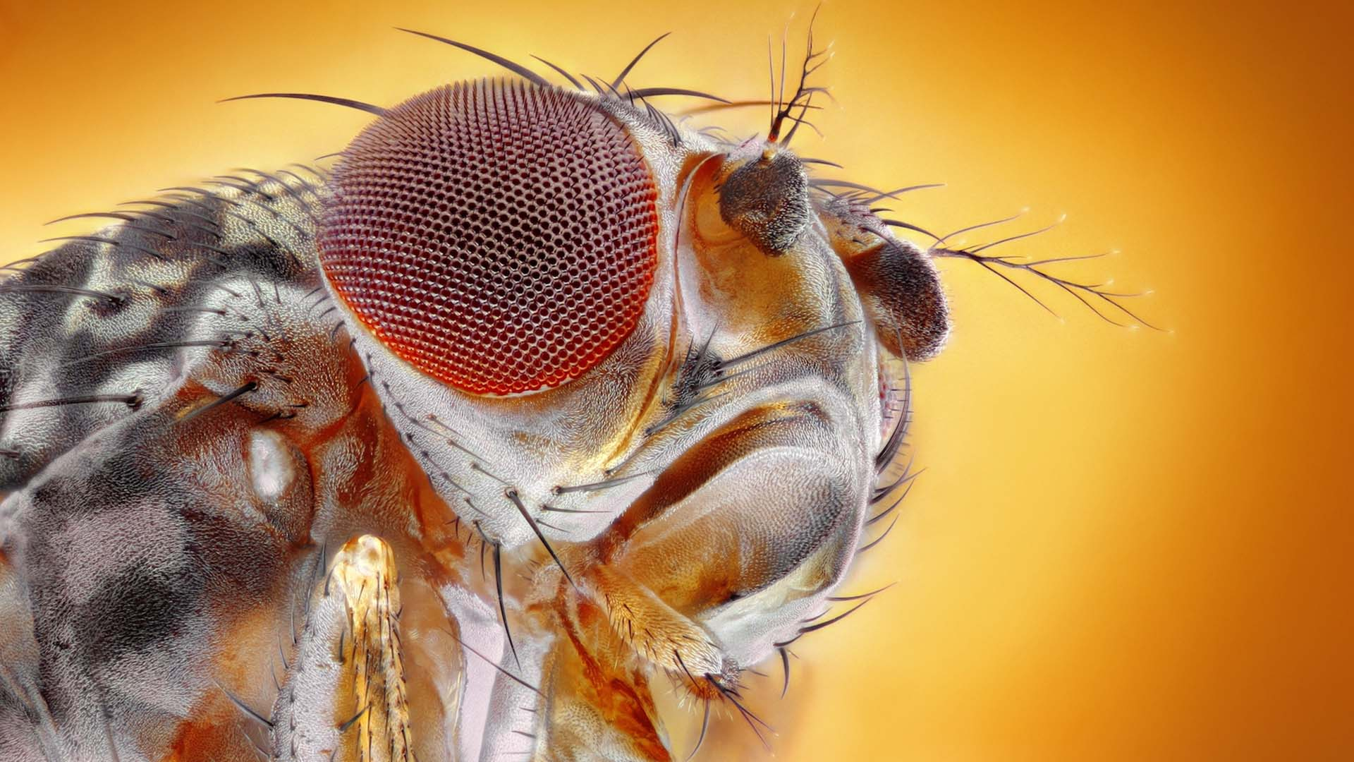 image of a fruit fly