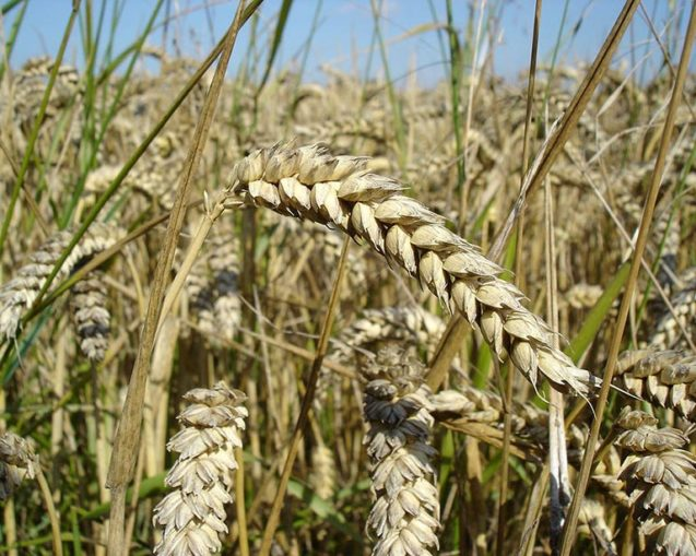 photo of wheat stalks close up