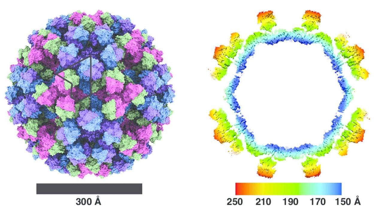 graphic of Norovirus strain capsids