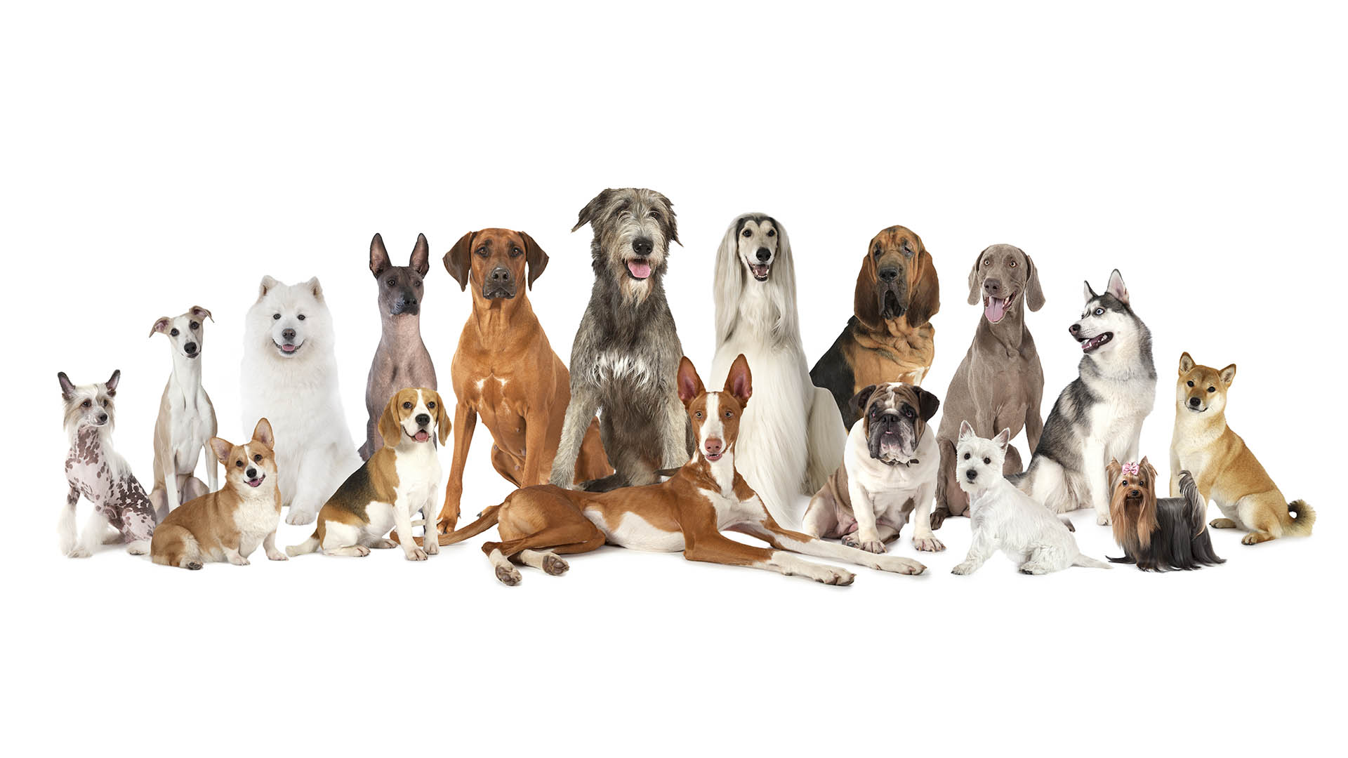 Illustration of a couple dozen different breeds of dogs
