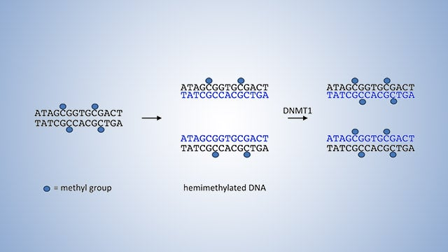 DNALC Live: DNALC Short: DNA Methyltransferases and DNA Methylation
