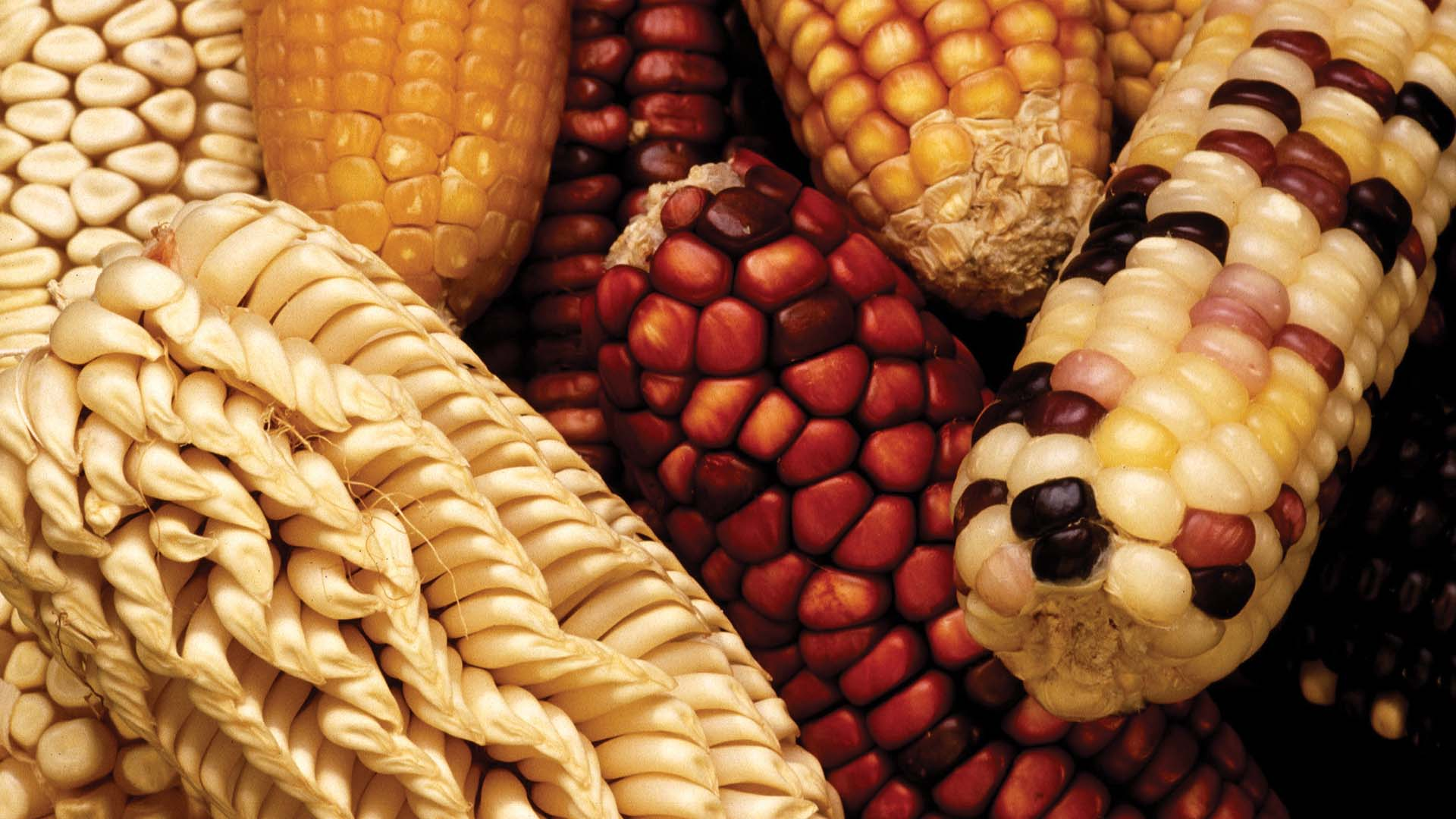 photo of genetically varied ears of maize