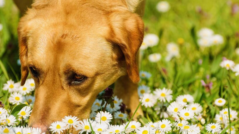 photo of dog smelling chamomile flowers