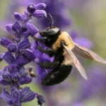Carpenter bees hero image