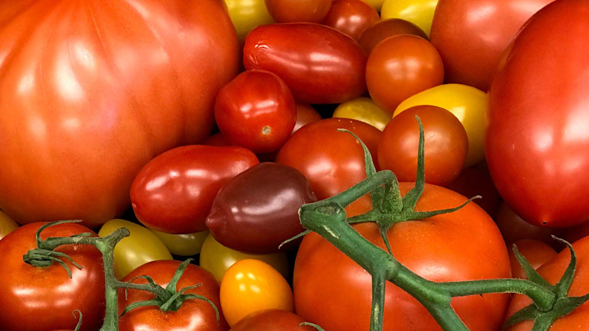 photo of various tomatoes from Lippman's lab
