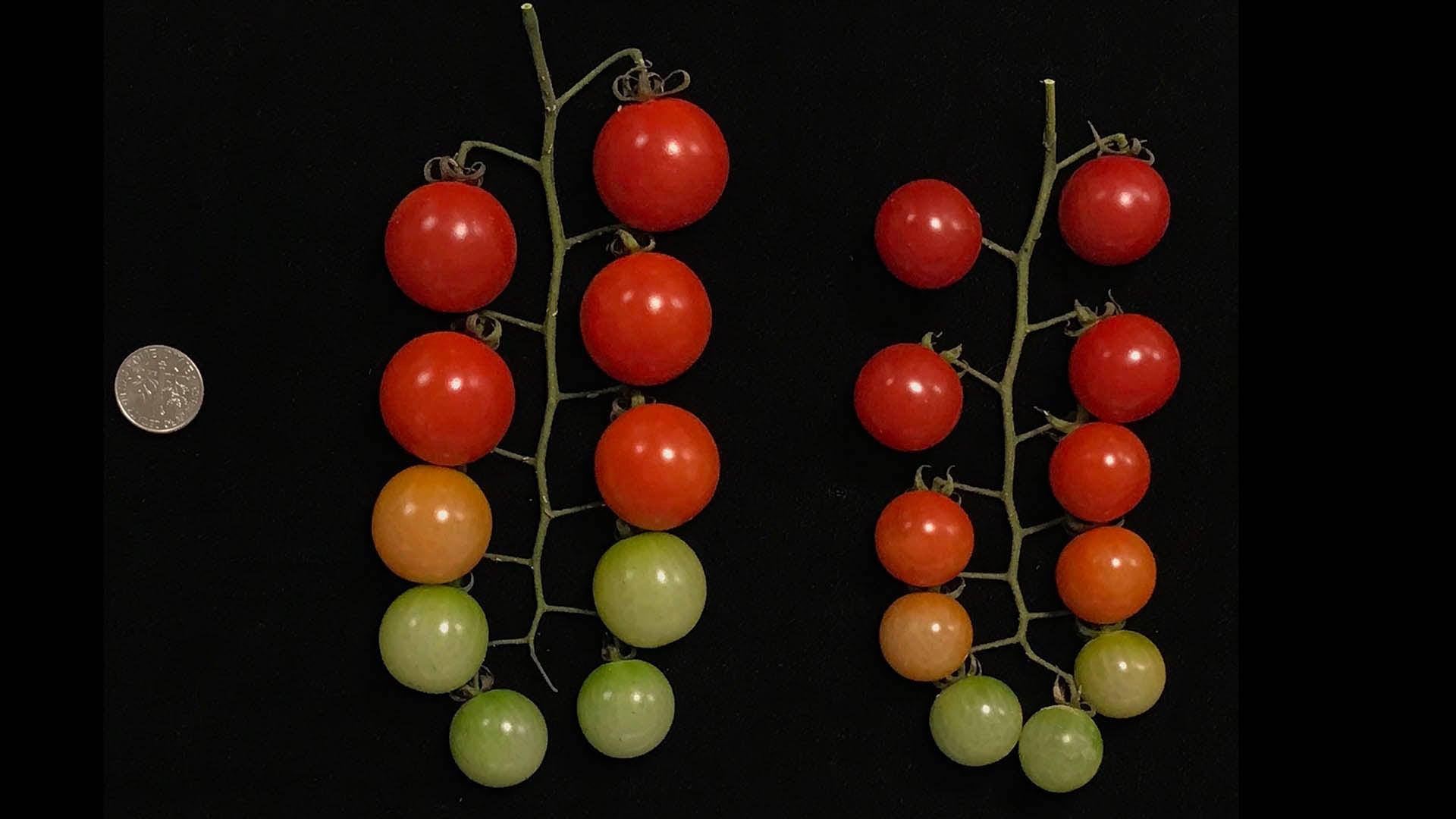 photo of tomato size with coin comparison