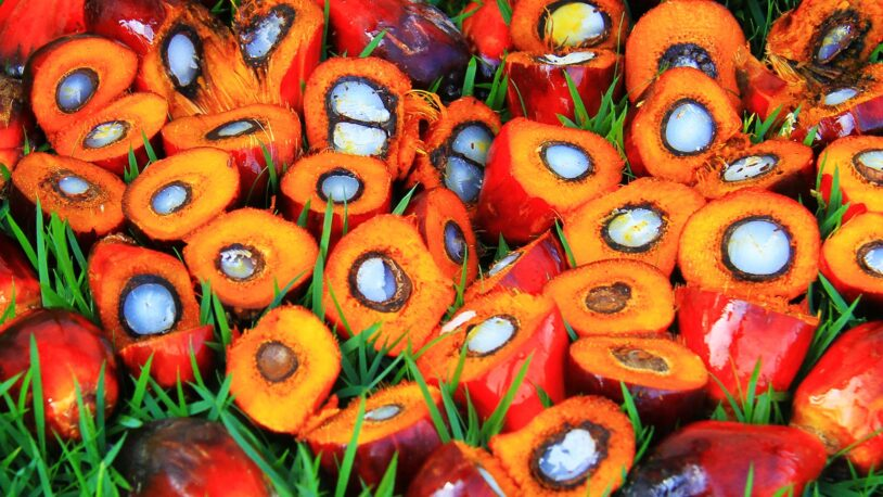 photo of fruits from the oil palm tree