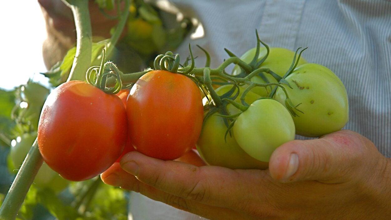 photo of Zach Lippmans hand holding tomatoes