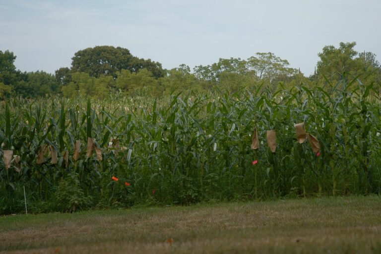 photo of Uplands Farm corn field